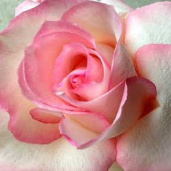 Oprah rose close-up