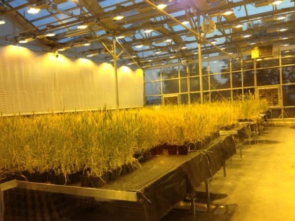 Bread wheat grass in greenhouse