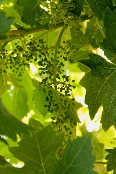 Dry Creek tiny grapes on vine