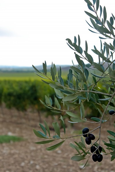 Butera olive branch