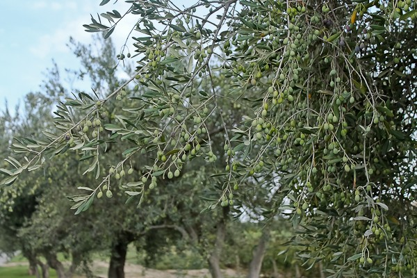 Butera olive trees with green olives