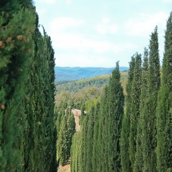 Tuscany Cyprus trees by vineyard